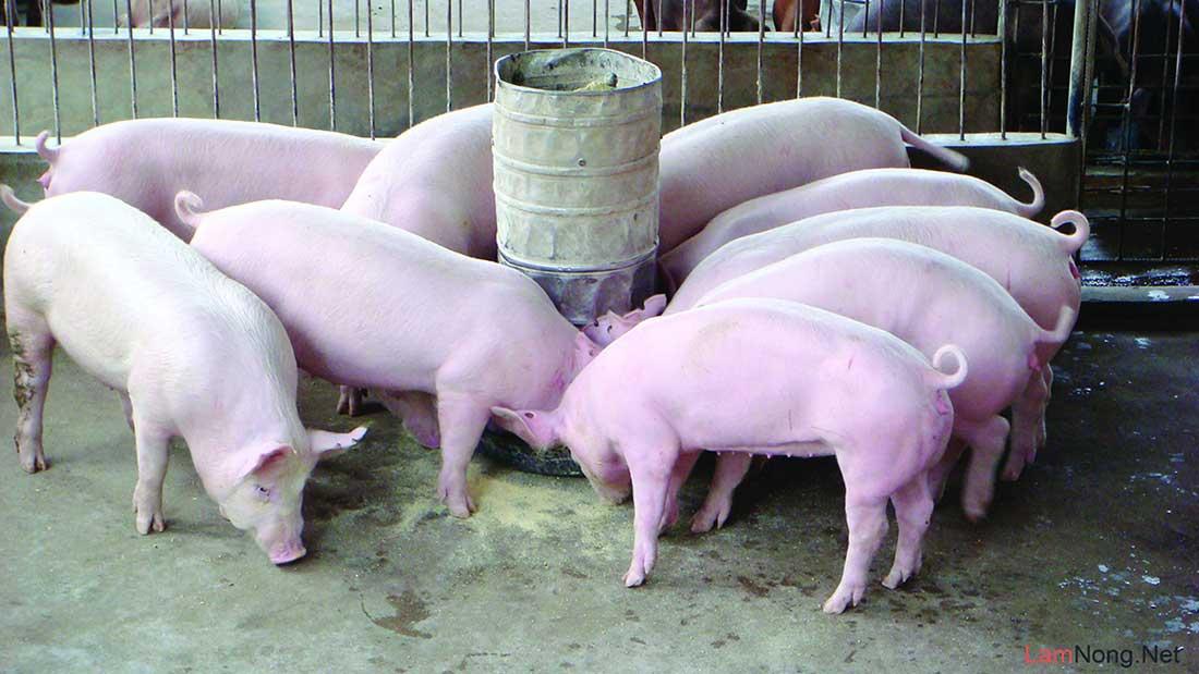 Audio: Chế tài xử phạt đối với việc sử dụng chất cấm trong chăn nuôi