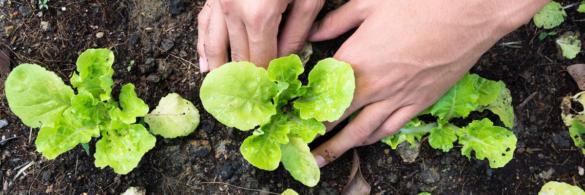 Đăng ký bảo hộ quyền đối với giống cây trồng