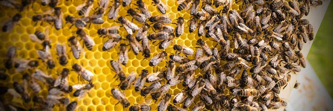 Mật ong đầu tiên của Việt Nam được cấp chỉ dẫn địa lý