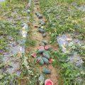 Chế tài xử phạt đối với hành vi phá hoại hoa màu-sblaw